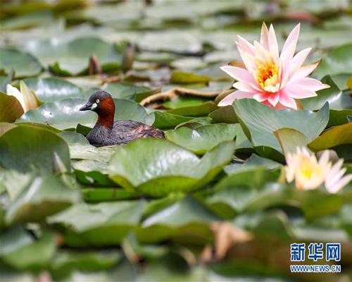 鸟戏莲叶间